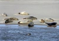 Bild 0 von Seehundzählung 2013: Seehundbestände im Wattenmeer stabil