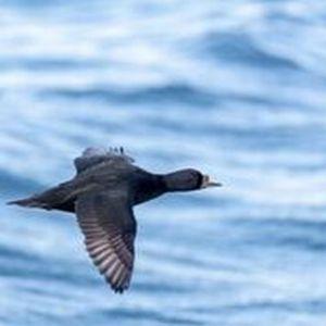 Bild 0 von Elfte Zugvogeltage im Anflug auf das Wattenmeer