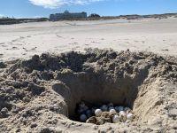 Bild 1 von Naturschützer rufen zur Schildkrötenhilfe am Strand auf