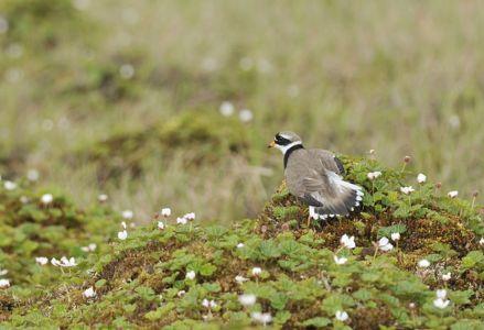 Bild 0 von Der Sandregenpfeifer -  Ein Vogel, der nach Regen giert?