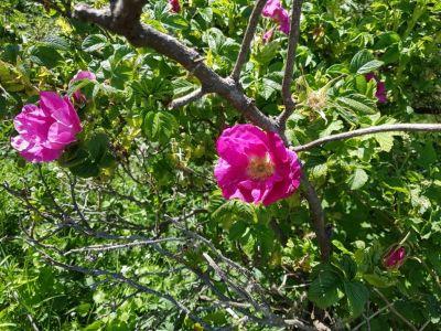 Bild 0 von Rosenblüte auf den Inseln hat begonnen